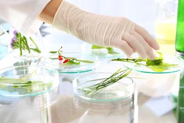 Rozmnażanie roślin. Biotechnolog bada próbki roślin w laboratorium