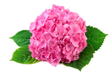 Hydrangea pink flower with green leaf on white