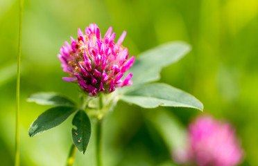 Red clover flower in nature