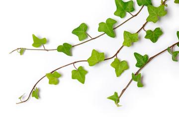 three ivy twigs