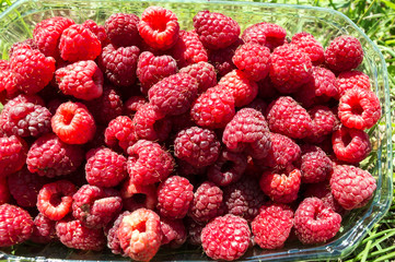 Close-up Freshly-picked Raspberry Fruit in a Basket on the Lawn