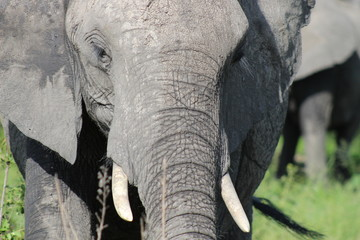 Close up of an elephant's head, tusks and trunk
