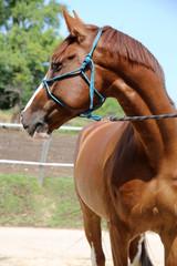 Purebred young hungarian gidran horse standing at rural horse farm