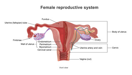 The female reproductive system (or female genital system) contains two main parts: the uterus, which hosts the developing fetus, produces vaginal and uterine secretions