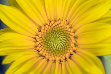 Macro image of yellow sunflower.