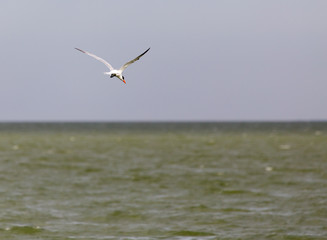 seagull in flight over the lake