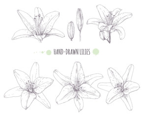 Vector graphics lilies. Flowers on white background. Set of contour lilies.