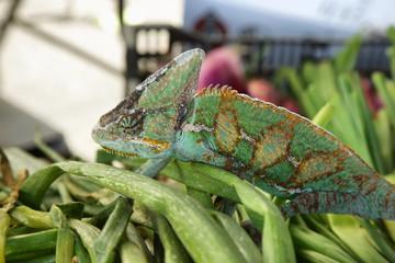 Green colored chameleon