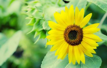 Beautiful summer sunflowers, selective focus, shallow depth of f