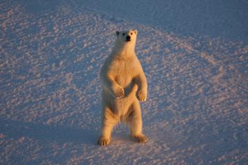 Polar bear standing in Beaufort Sea, Ursus maritimus