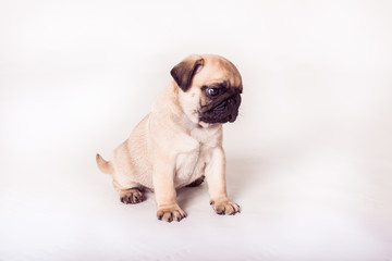 Bright pug puppy sitting at the white background. Horizontal