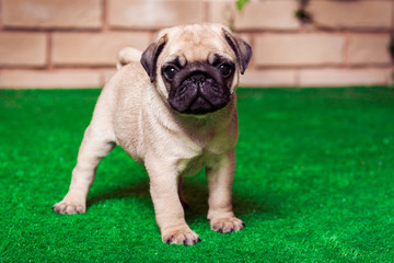 Little beige pug puppy standing on the green grass against the brick wall. Studio shot. Horizontal.