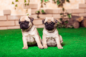 Two little beige pug puppies sitting on the green grass against the brick wall. Studio shot. Horizontal.