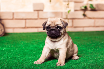 Little beige pug puppy sitting on the green grass against the brick wall. Horizontal.
