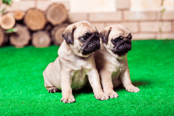 Two little beige pug puppies sitting on the green grass against the brick wall.