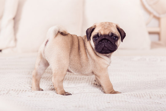 Little beige pug puppy standing on the bed. Hprizontal.
