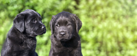 Cute Labrador puppies - dog puppy banner