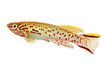 Blue Lyretail Killi Fish killifish Fundulopanchax gardneri Aquarium ...