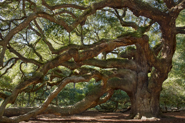 Large southern live oak tree – Angel Oak Tree on John's Island, South Carolina
