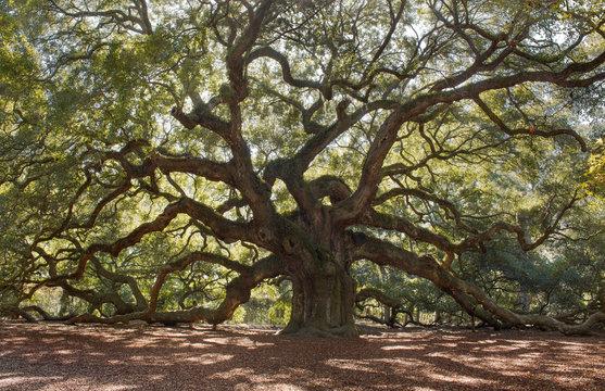 Angle Oak Tree – Located outside of Charleston of St. John Island