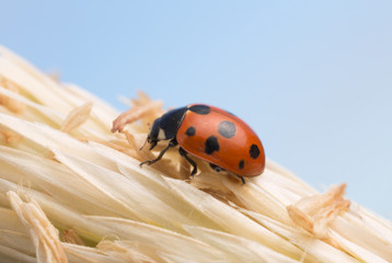 Eleven-spotted ladybird, Coccinella undecimpunctata on straw