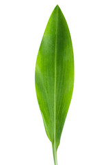 green leaf tulip isolated on white background