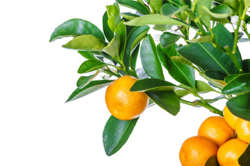 mandarine tree isolated on white