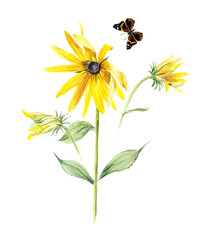 Rudbeckia composition. Yellow chamomile. Flower backdrop. Watercolor hand drawn illustration.