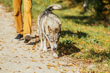 man walking with a dog Husky