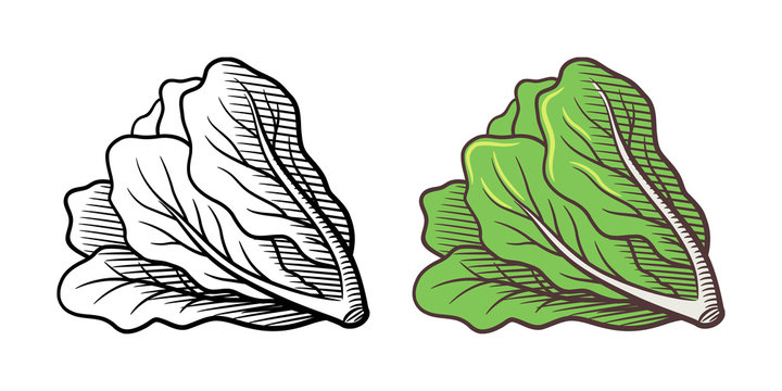 Stylized illustration of lettuce. Vector, isolated on white. Outline and colored version