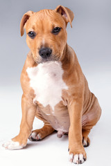 Cute staffordshire terrier puppy