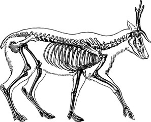 Vintage image deer skeleton