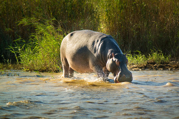 Hippo at the iSimangaliso-Wetland-Park; South Africa