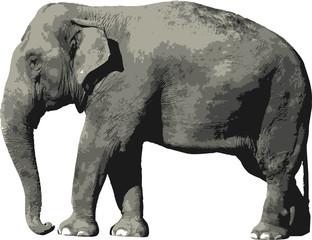 Elefante griz