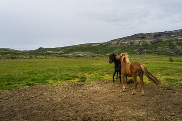 Horses in the wilderness of iceland