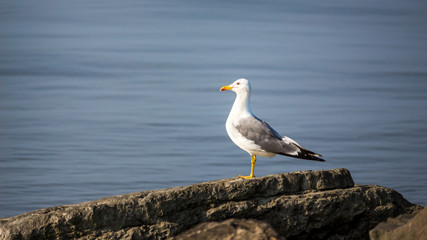 Seagull sit on the rock in the water. Sea background in the morn