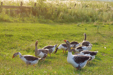 Herd of guinea gooses is grazed on a green meadow in a summer sunny day