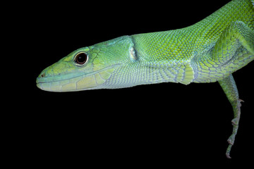 Wall Mural - Green Keel-bellied Lizard (Gastropholis prasina), Tanzania