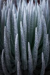 Haleakala Silversword plant