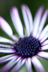 Daisy flowerhead, close up