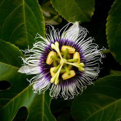 Liliquoi flower, close up