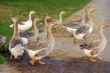 Herd of geese cross the road in rural areas in summer day