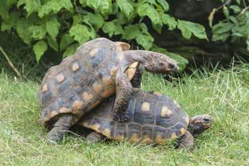 south american red-footed tortoise mating