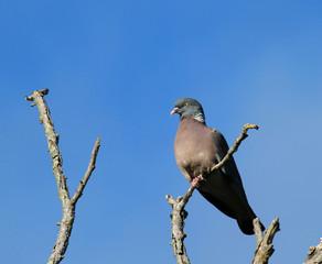 pigeon ramier perché sur une branche