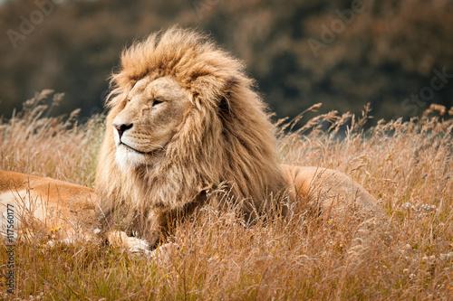 lions photo libre de droits sur la banque d 39 images image 117560177. Black Bedroom Furniture Sets. Home Design Ideas