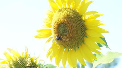 Желтые подсолнухи обращаются к теплому солнцу.