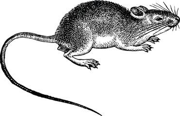 Vintage image rat