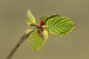 Hazelnut twig