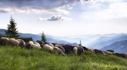 mountains sheeps