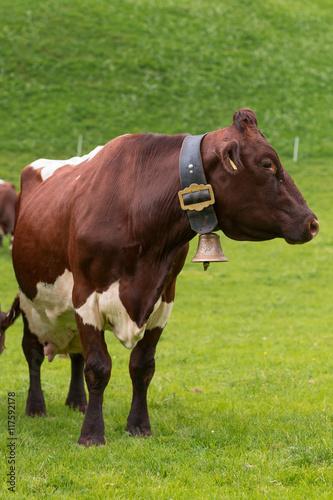Foto mucca da latte 66